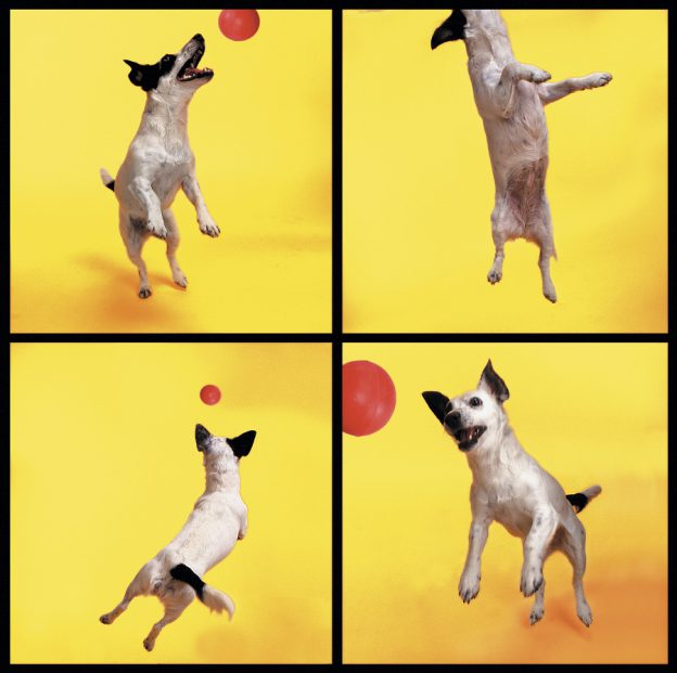 Jack Russel playing with a red ball on a yellow background